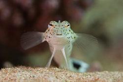 BD-150225-Tiran-6742-Parapercis-hexophthalma-(Cuvier.-1829)-[Speckled-sandperch].jpg